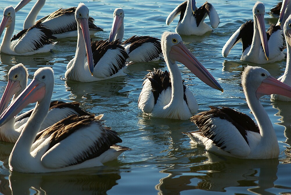 Pelicans in Yamba, New South Wales by groophics