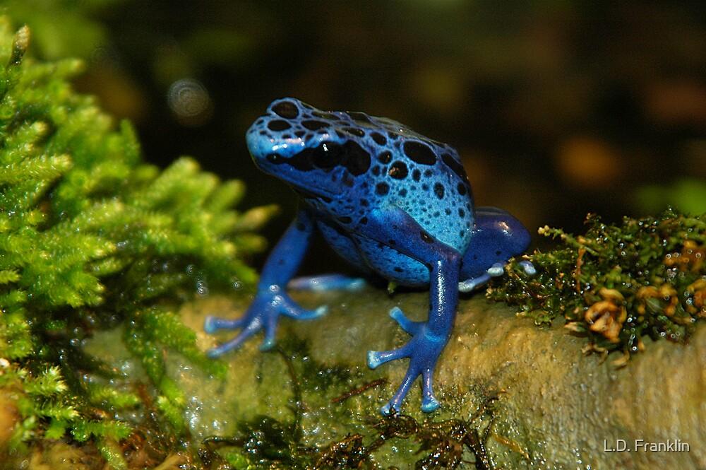 Blue Poison Dart Frog by L.D. Franklin