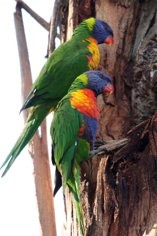 Rainbow Lorikeets by margotk