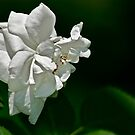 White Rose by Carolyn Clark