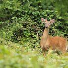 Hanlon Park Deer by elasita