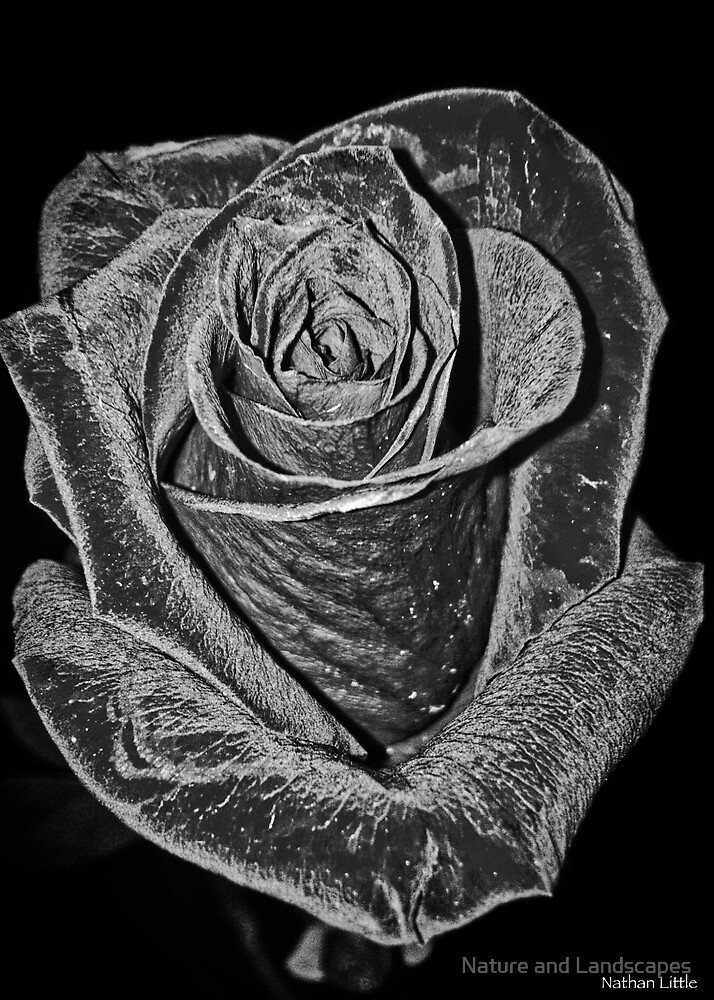 Silver Rose by Nathan Little