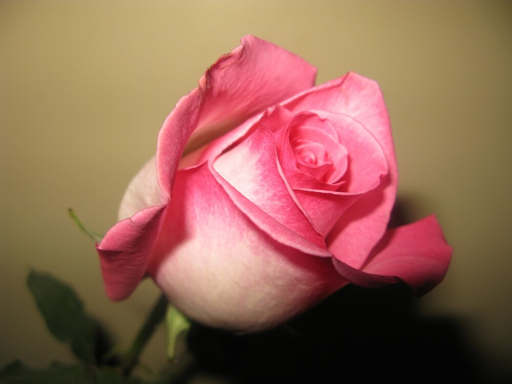 Pink Rose by Dswatercolors