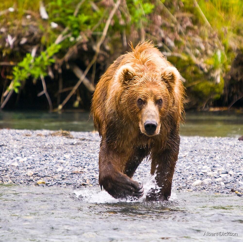Ursos Arctos, The Great Brown Bear of Kodiak, Alaska by Albert Dickson