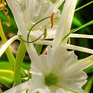 Spider Lillies - HDR by Jayson Gaskell