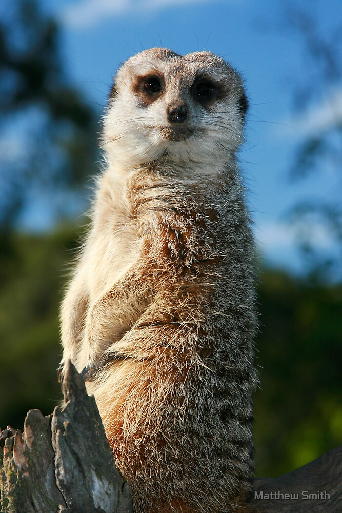 Mr Meerkat by Matthew Smith