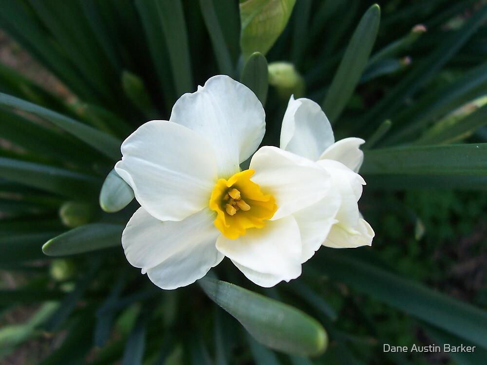 Narcissus by Dane Austin