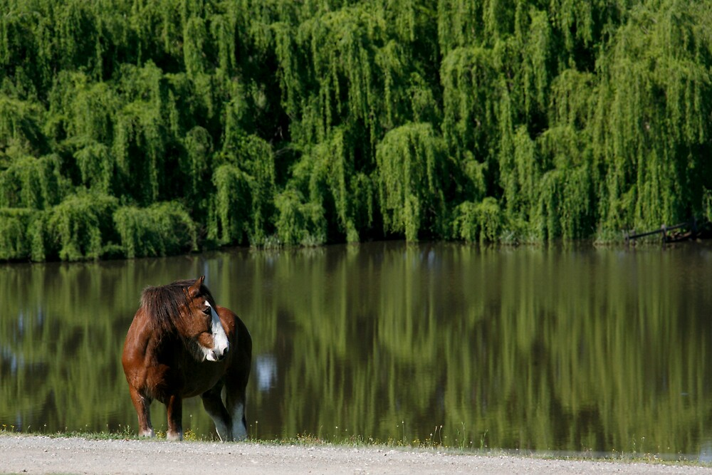 Clydesdale on the lookout by Troy Mackaway