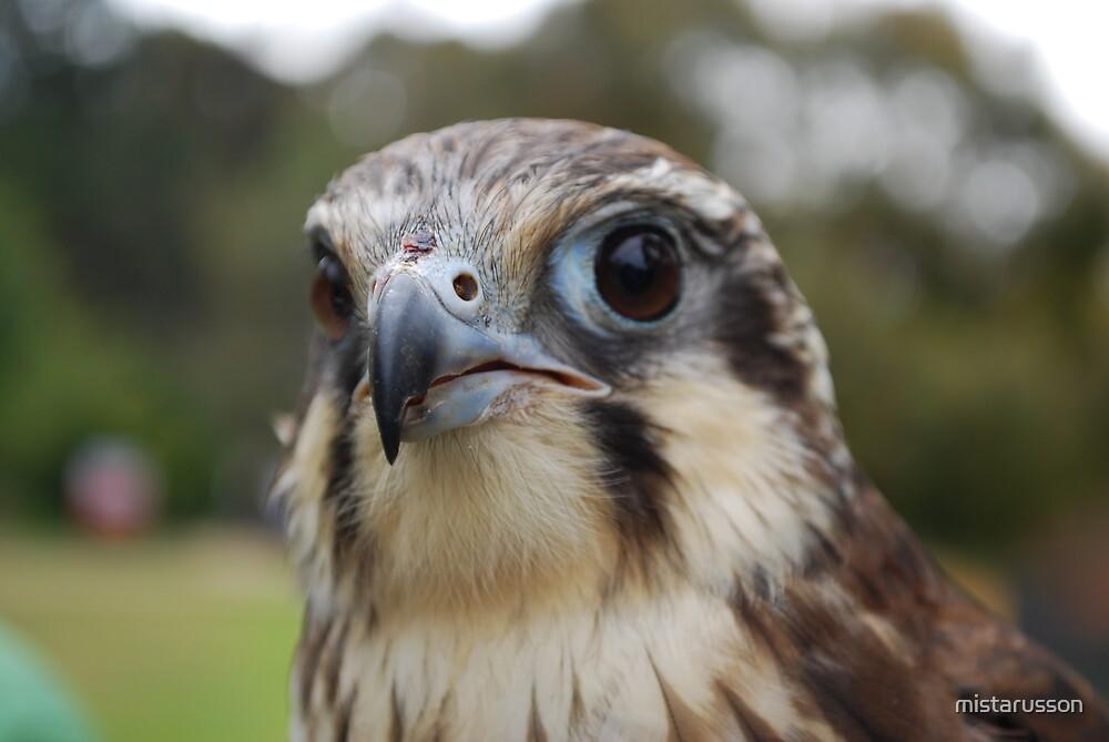 Peregrine Falcon by mistarusson