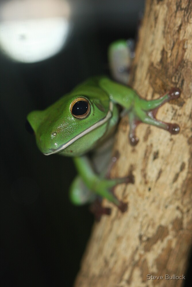 White Lipped Tree Frog by Steve Bullock