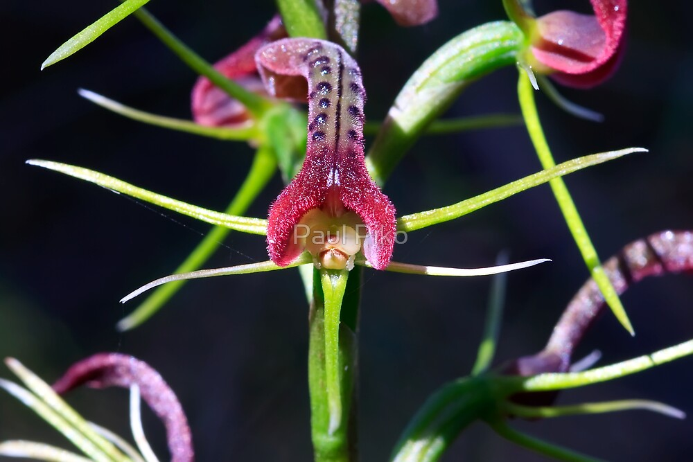 Small Tongue Orchid - Cryptostylis leptochila - Close up by Paul Piko