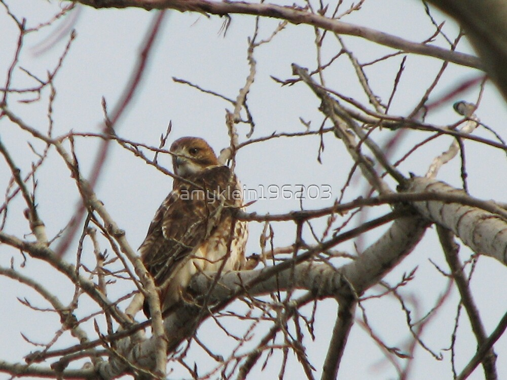 Our Hawk by amyklein196203