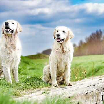 Two Golden Retriever brothers by larousch