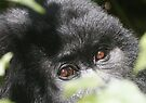 Gorilla Eyes by Steve Bulford