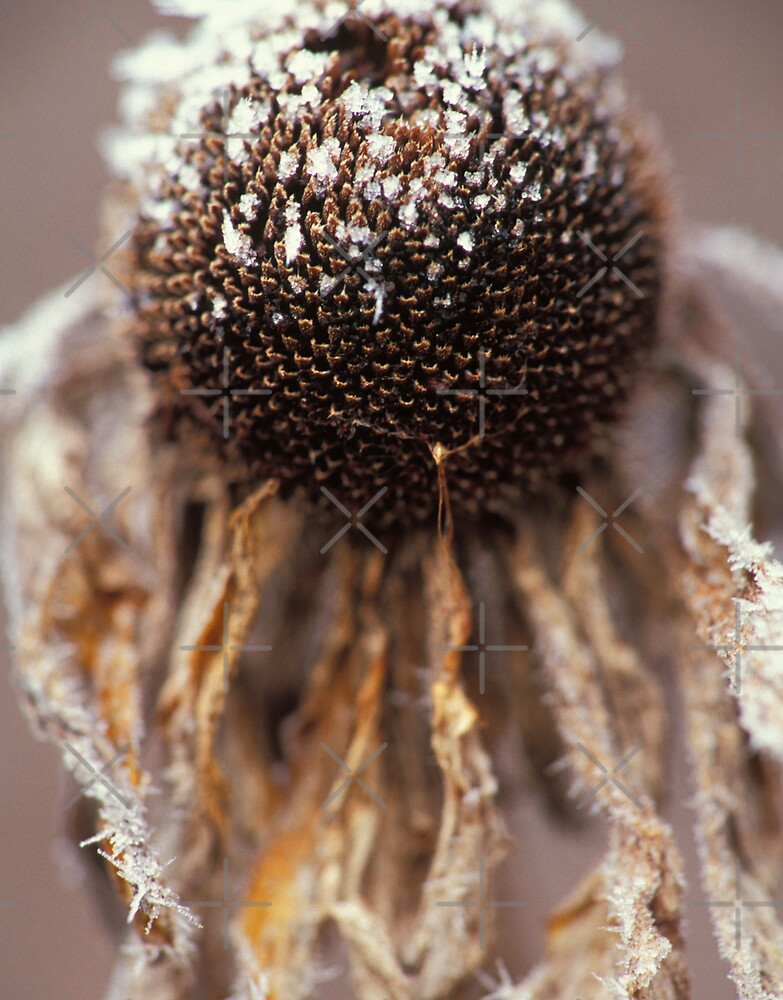 Frosted Echinacea by Bill Spengler