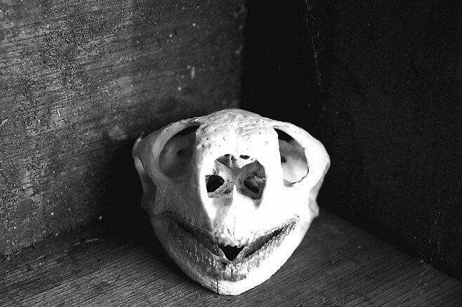 Gopher Tortoise Skull by Dennis Blauer