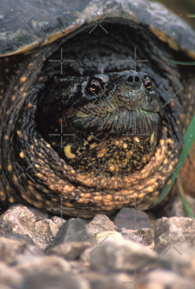 Snapping Turtle by Bill Spengler