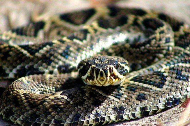 Rattlesnake Stare by Dennis Blauer