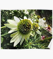 End of Summer Echinacea Sunrise Poster