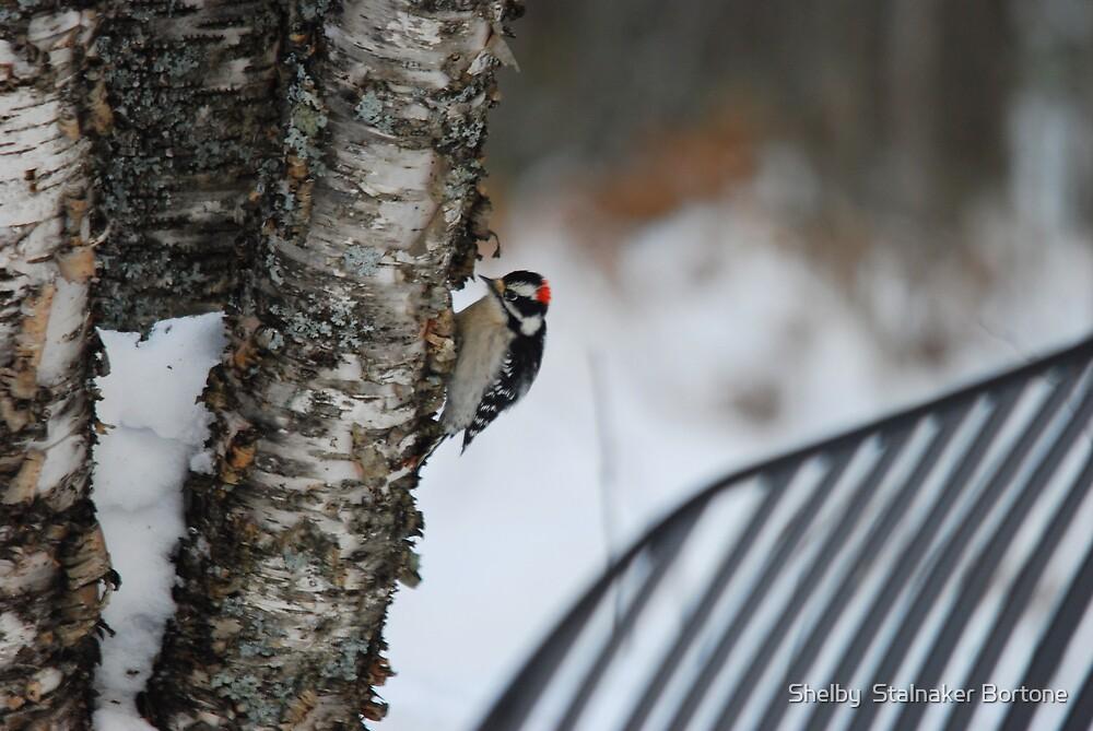 Downy Woodpecker by Shelby  Stalnaker Bortone