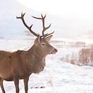 Winter Stag by shutterjunkie