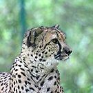 cheetah by Karl R. Martin