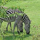 Zebras by Karl R. Martin