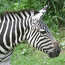 Zebra by Karl R. Martin