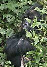 Hide And Seek ~ Gorilla Style by Steve Bulford