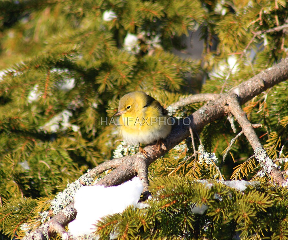 Yellow Bird by HALIFAXPHOTO