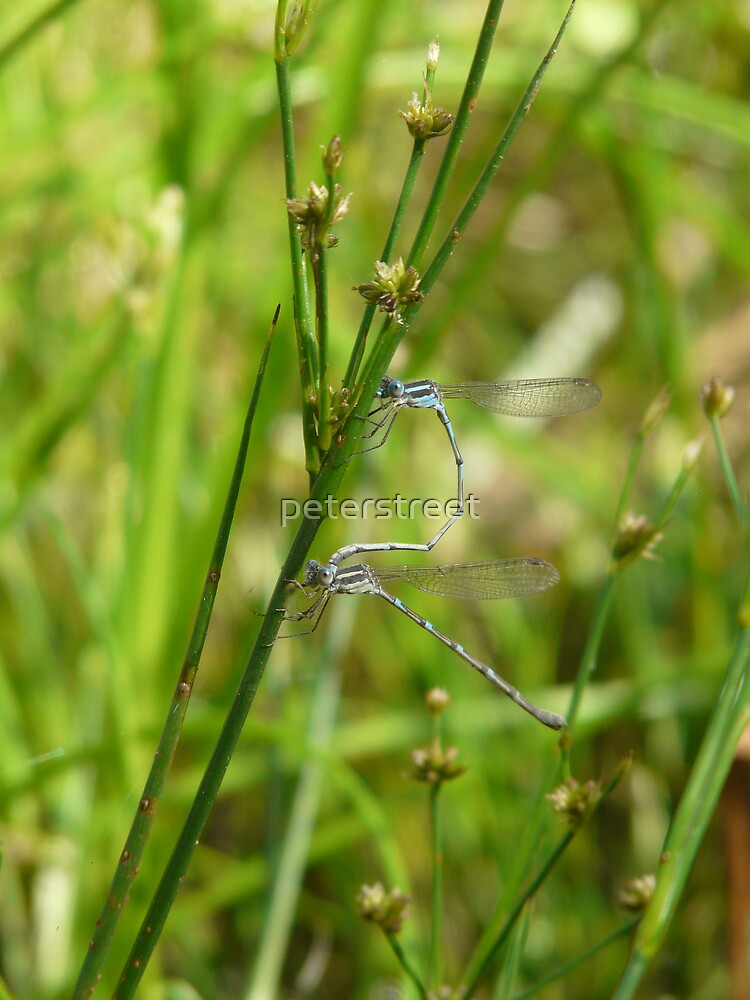 Mating Damselfies by peterstreet