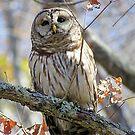 barred owl by LoreLeft27