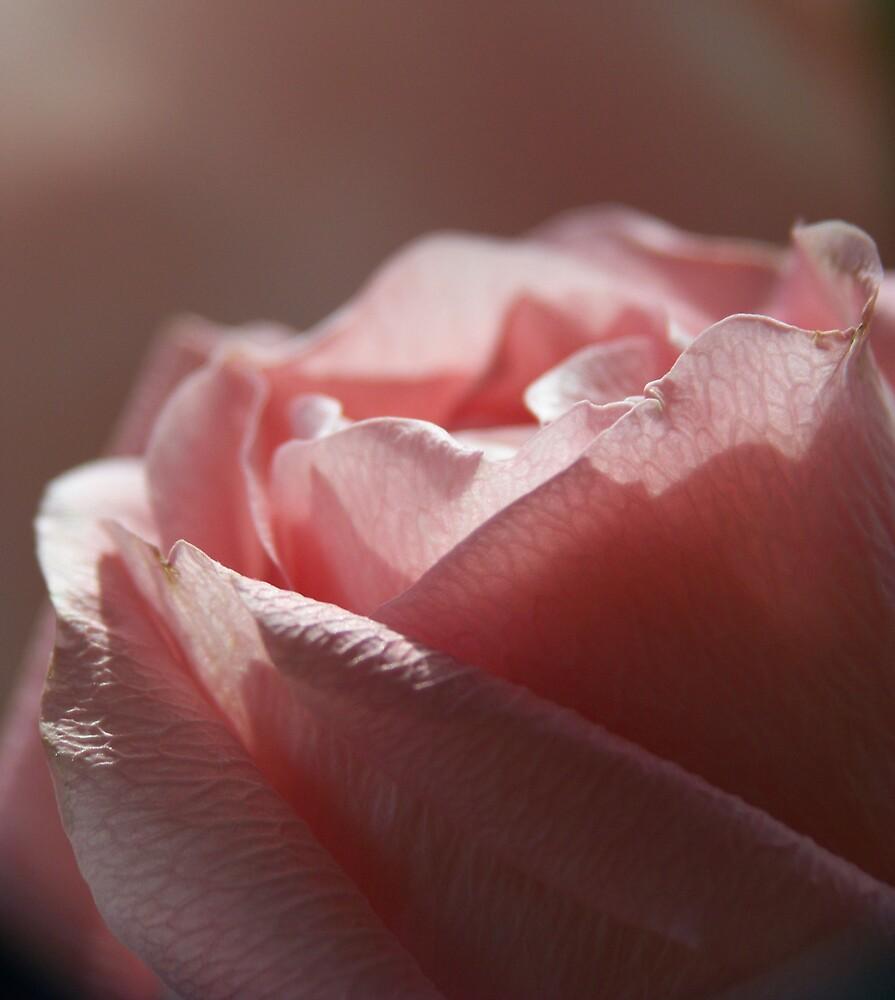 Sunlit Rose by Ashley  Meyer