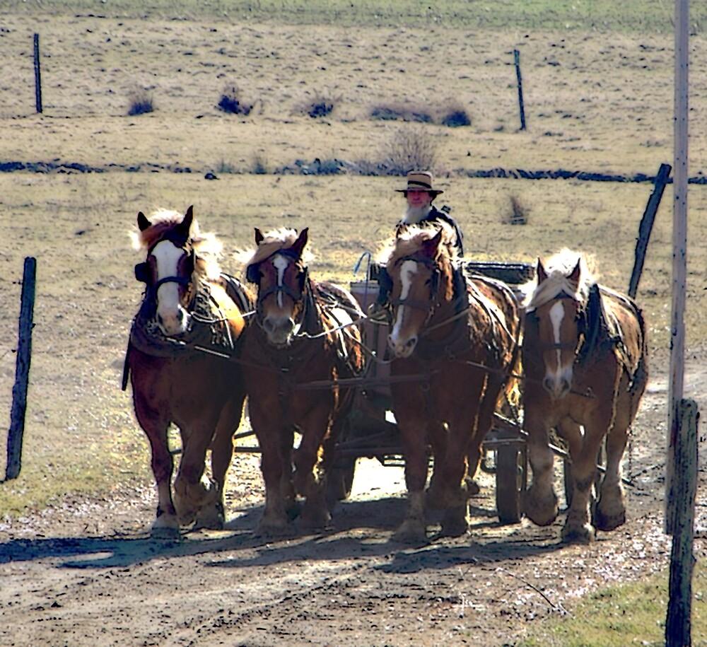 Amish Horses  by Judi Taylor