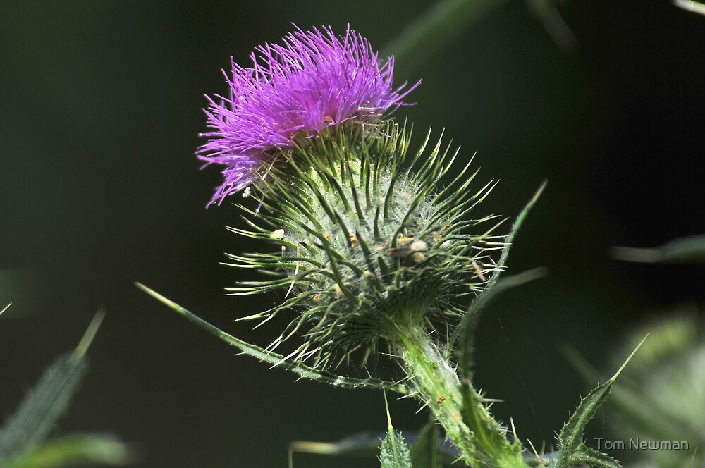 Thistle by Tom Newman