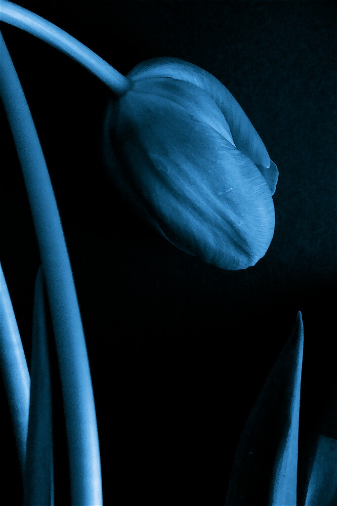 blue tulip  by anisja