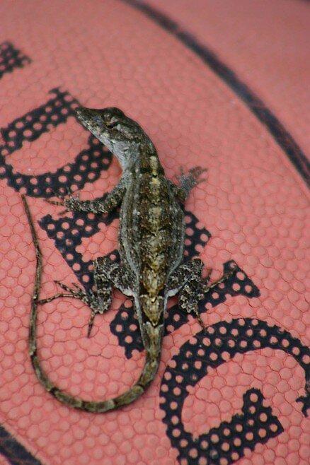 Basketball Lizard by Dennis Blauer