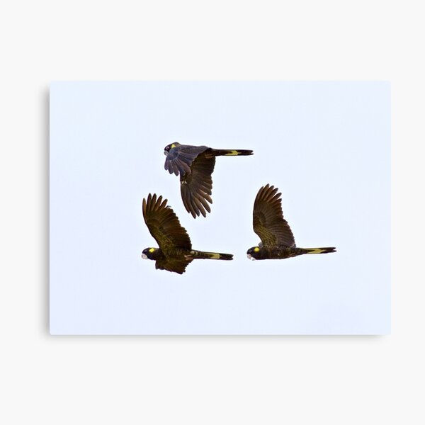 PARROT ~ Yellow-tailed Black Cockatoo by David Irwin ~ WO Canvas Print