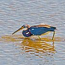 Tri-Color catches minow by TJ Baccari Photography