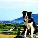 Teddy the Border Collie by thegreendogs