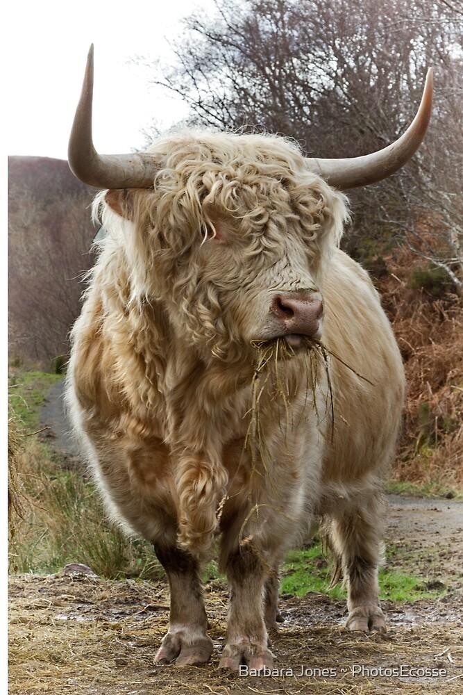 Highland Bull. Duirinish. Scottish Highlands. by Barbara  Jones ~ PhotosEcosse
