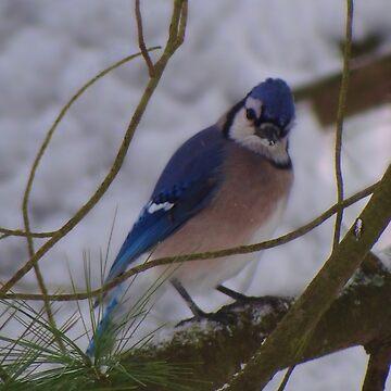 Blue Jay in January by vigor