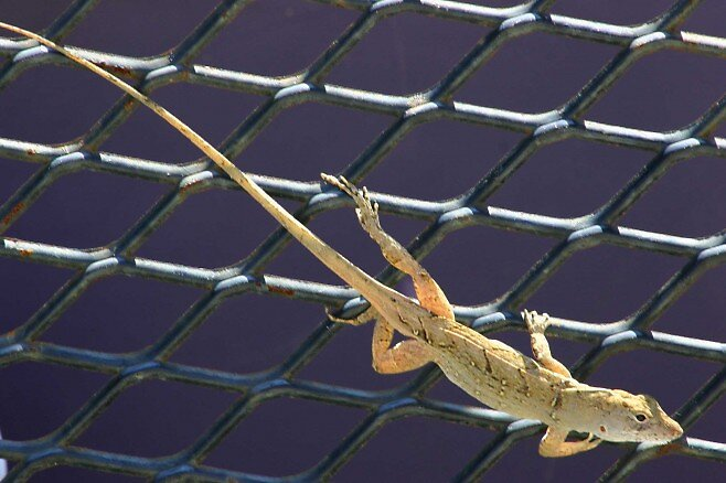 Tailgate Lizard by Dennis Blauer