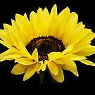 Glorious Sunflower by Heather Friedman