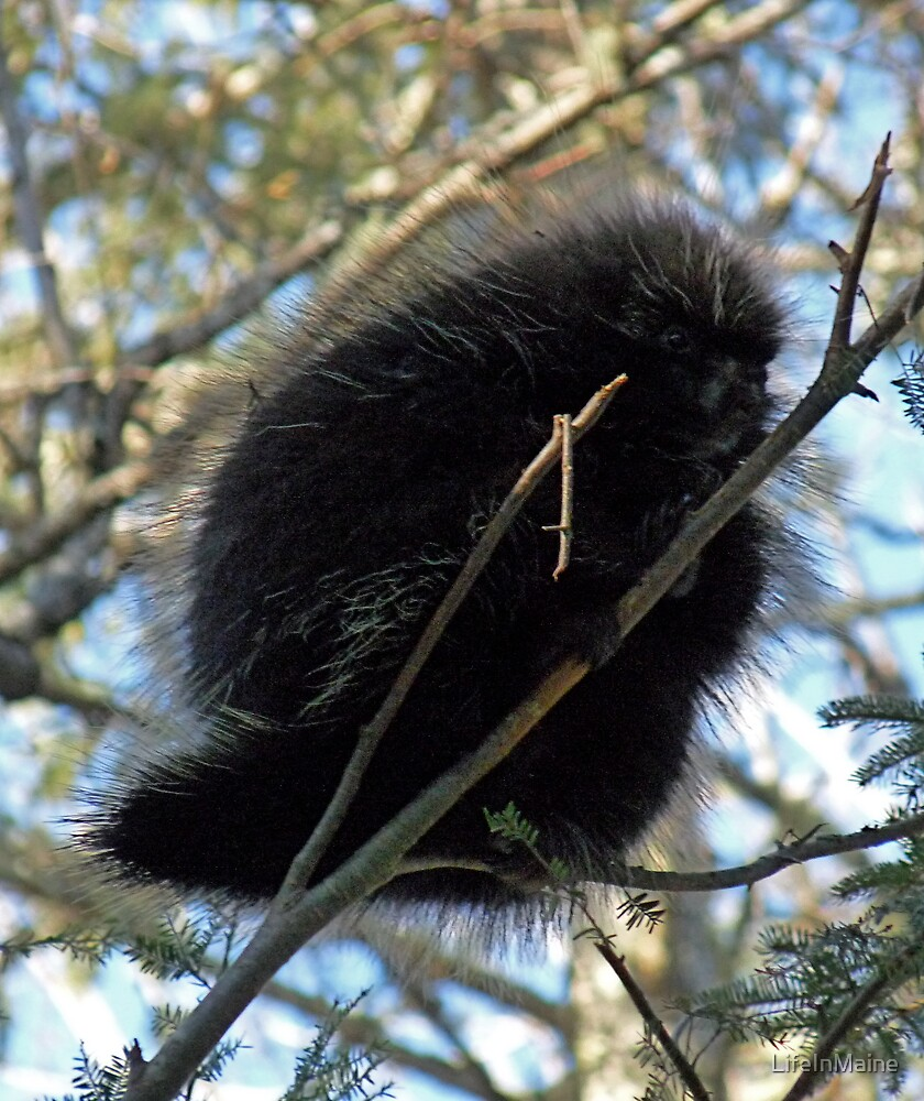 Porcupine 2 by LifeInMaine