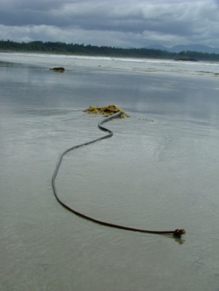 seaweed tofino by dmw43