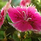 Hot Pinks, Dianthus Flowers. by Shelli Fitzpatrick