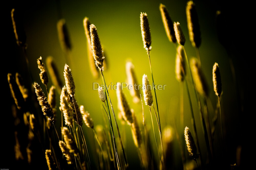 Wild Grass by David Petranker