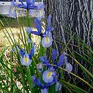 Iris by Shulie1