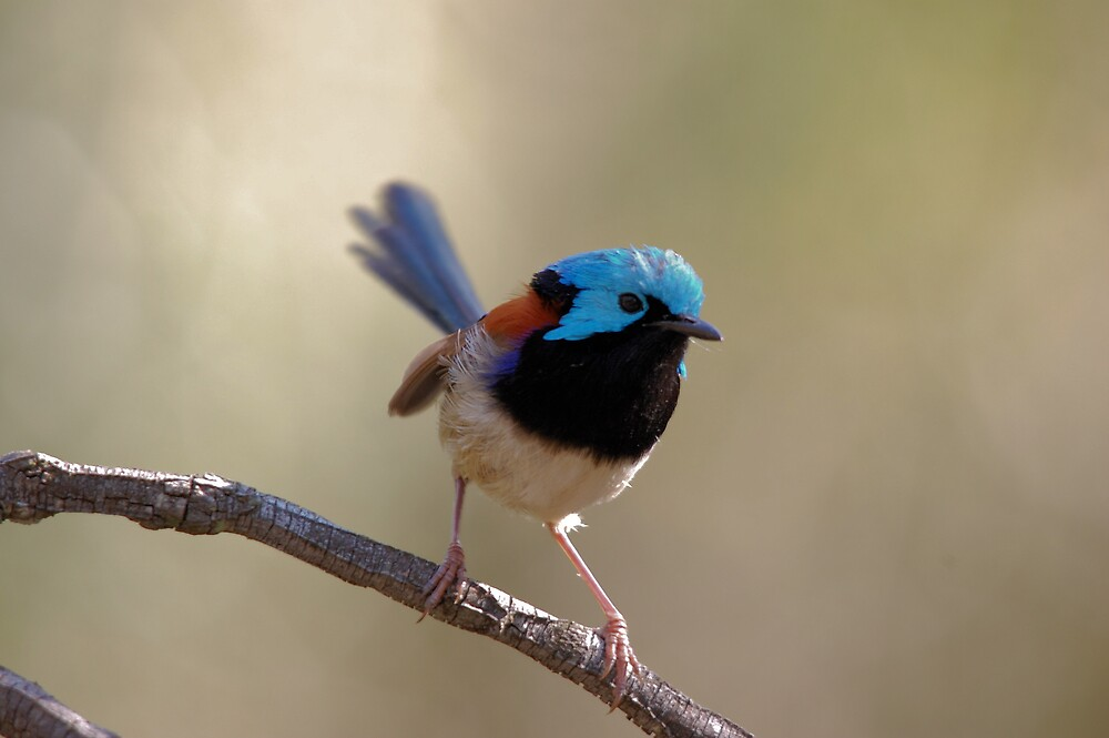 Variegated Fairy Wren by David  Hall